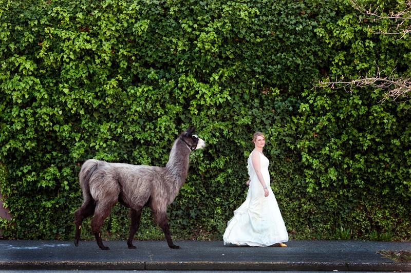 Seattle Best Wedding Photographer Bride With Llama