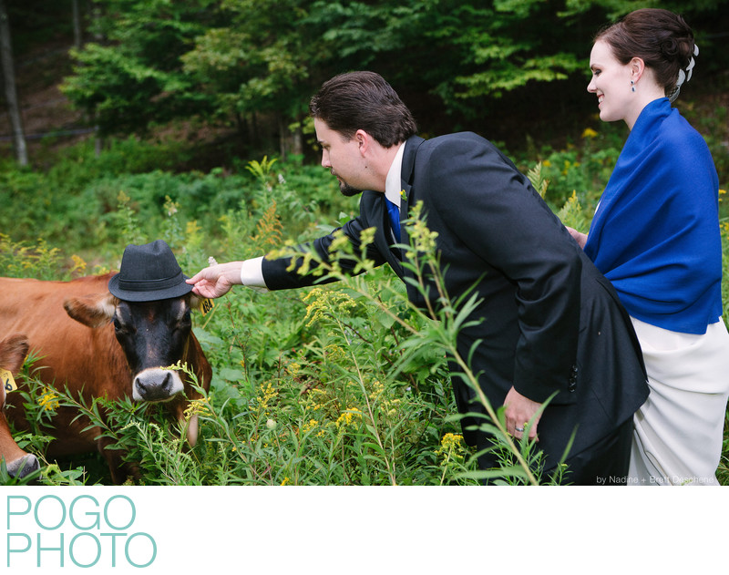 The Pogo Wedding: meeting friendly cows in Vermont