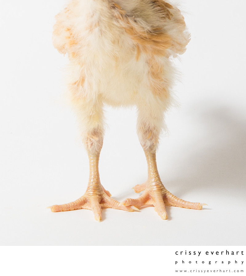 Fuzzy Chicken Legs - Honey - 14 Days Old