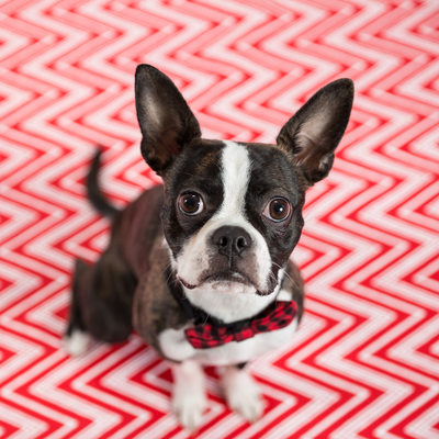 Malvern Studio- Holiday Pet Portraits in Chester County