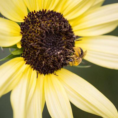 Pollen covered honeybee on yellow sunflower, macro