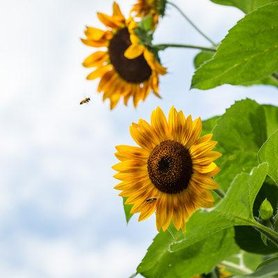 Honeybees flying to yellow and orange sunflowers