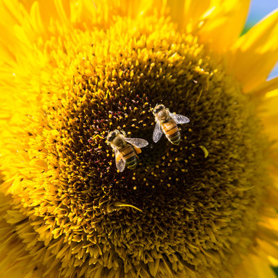 Macro of two honeybees gathering pollen from sunflower