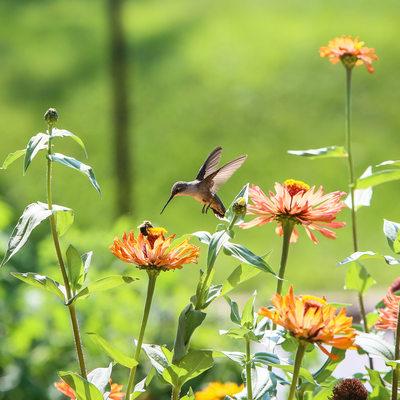Hummingbird sees bumblebee on zinnia flower