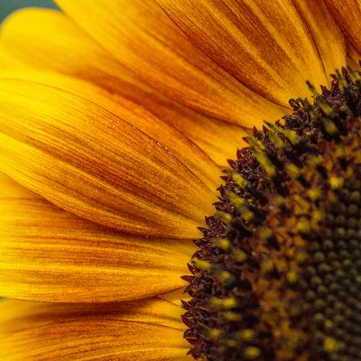 Extreme Close Up- Macro Photo of Orange Sunflower