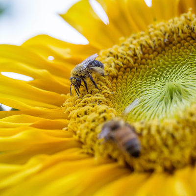 Bees Share a Yellow Sunflower, Covered in Pollen