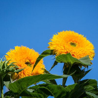 Yellow teddy bear sunflowers against bright blue sky