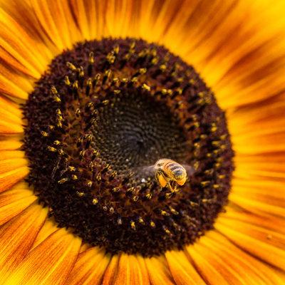 Honeybees with full pollen sacs landing on sunflower