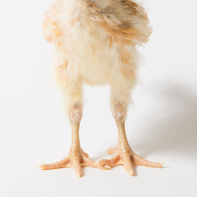 Fuzzy Chicken Legs - Honey - 14 Days Old