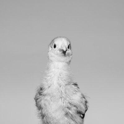 Unique Pet Photos in Chester County - Chicken Portrait