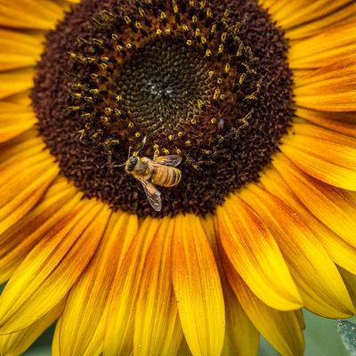 Honeybee on Sunflower: Macro Photography