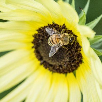 honeybee on pale yellow sunflower, macro