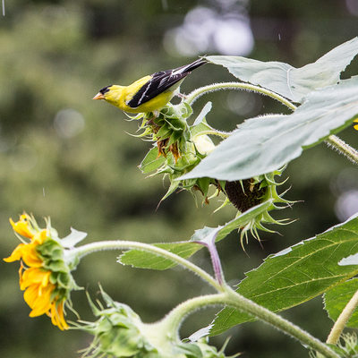 Goldfinch Perched on Sunflowers in Rain