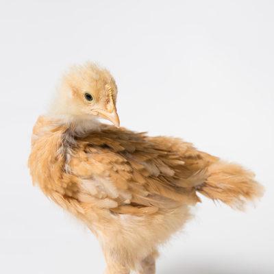 Honey - 3 Weeks Old - Buff Orpington Chick