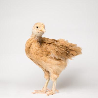 Honey - 4 Weeks Old - Buff Orpington Chick