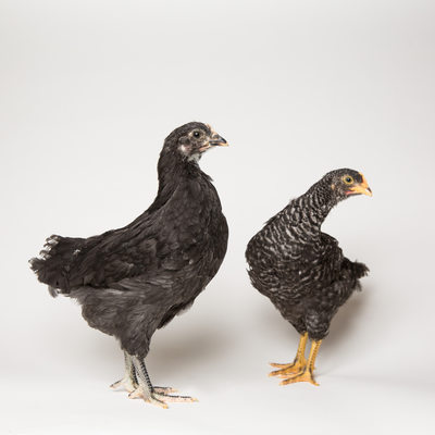 Noodle and Pepper, the Two Black Hens