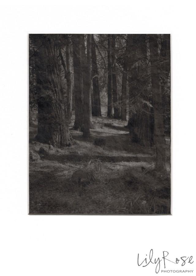 Platinum 4x5 on Vellum Forrest through the Trees