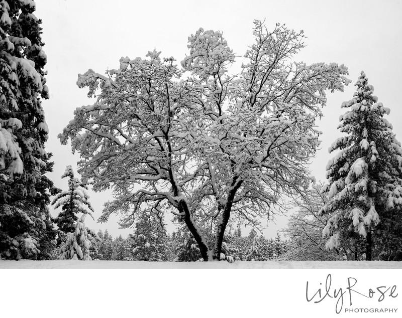 Winter is Coming Split Oak Tree