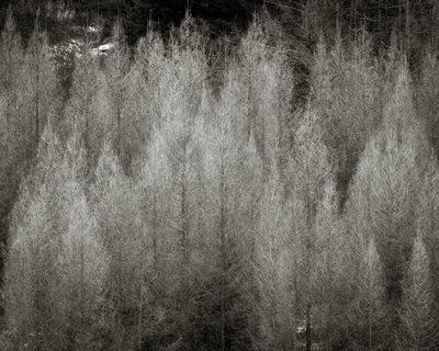 Deciduous evergreen trees