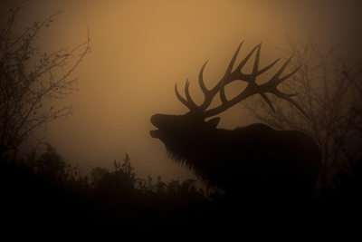 Bull Elk Bugling in the Fog at Sunrise