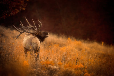 Bugling elk on hillside during Fall