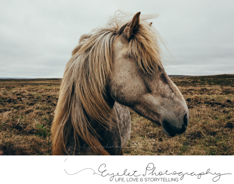 Icelandic Horse Somewhere In South East Iceland