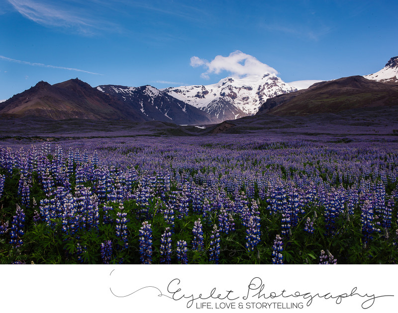 Glaciers with Lupine Flowers Iceland Photography