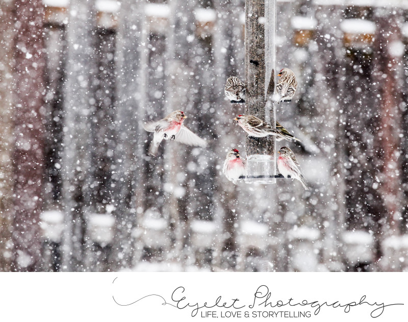 Redpoll Birds At The Feeder In Spring During Snow Storm