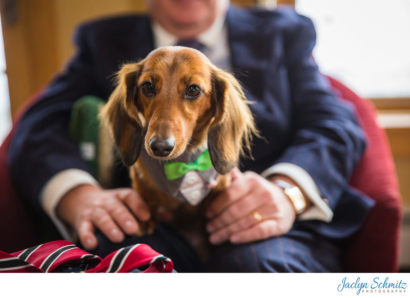 Dachshund in bow tie wedding
