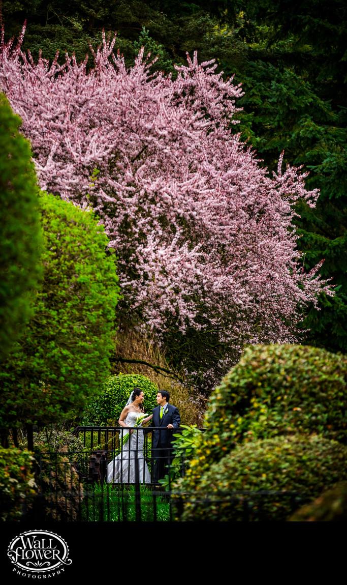 Bride and groom with huge flowering plum tree behind