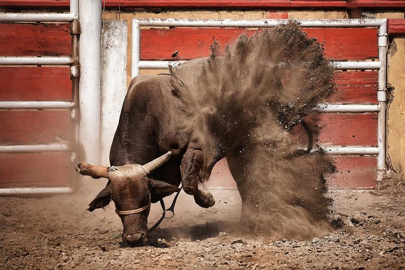 Bull Photography