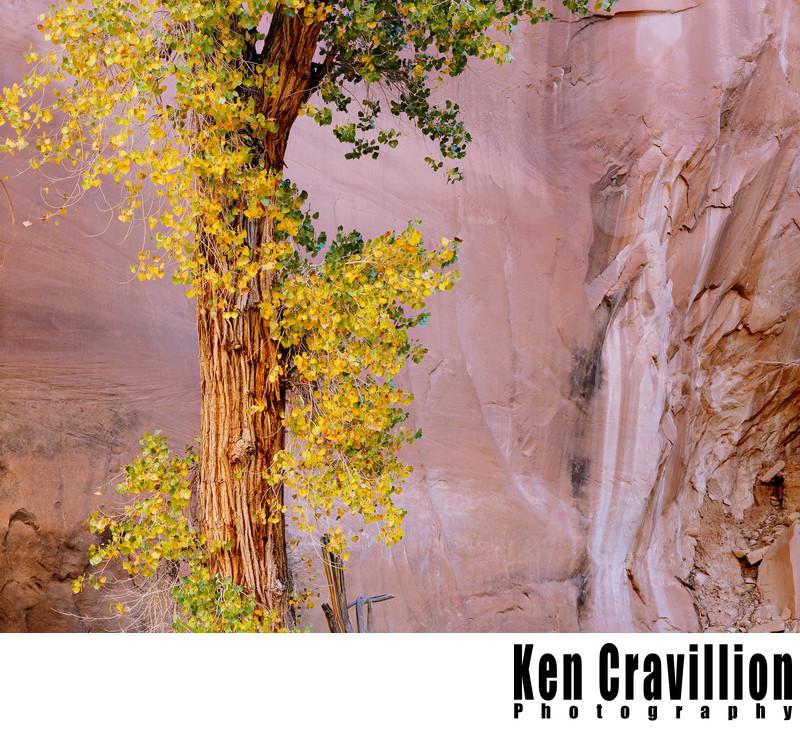 Cottonwood Tree Sandstone Escalante Utah Photo