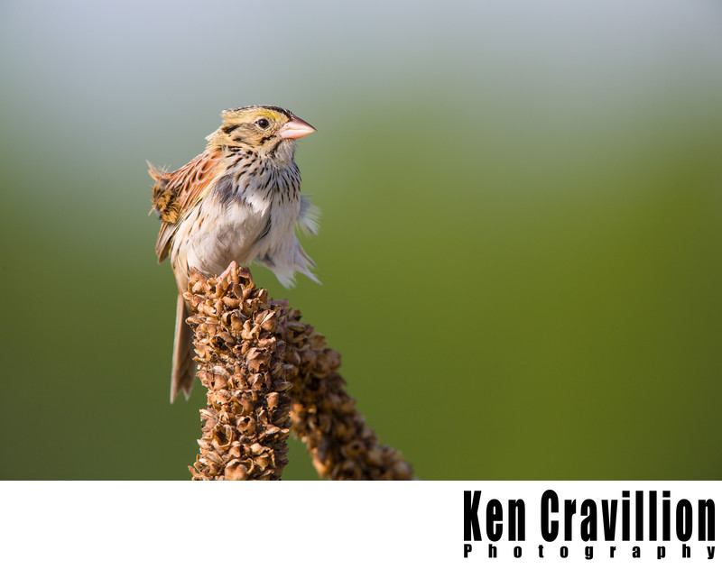 Henslows Sparrow Wisconsin Photo