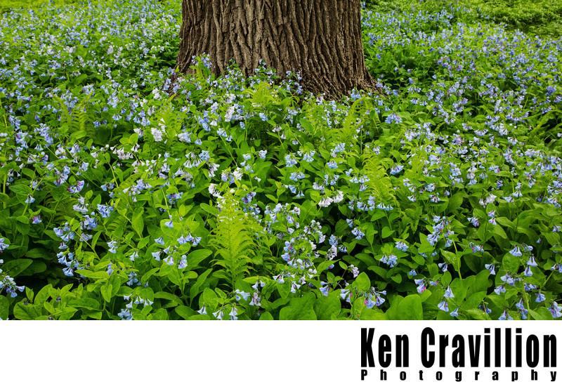 Paine Art Center Oshkosh Blue Bell Flowers Tree
