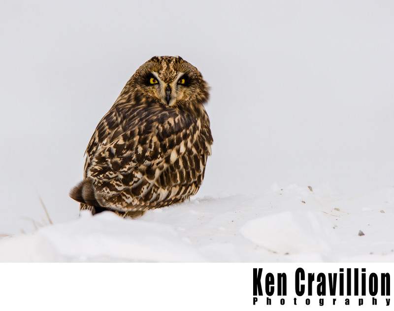 Short Eared Owl Wisconsin Photo