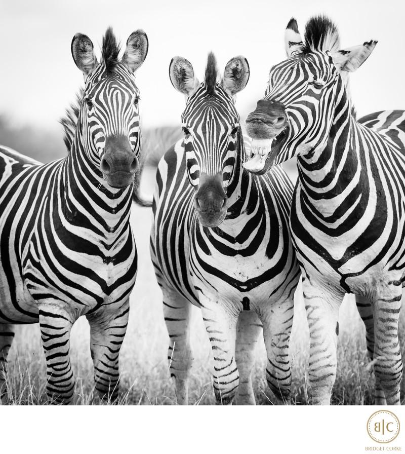 Zebras Captured in Kruger Park 2010