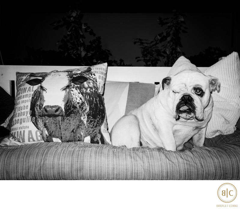 Bridget Corke Personal Family Photograph of Her Bulldog Venus on Couch with Nguni Cow Pet Photography