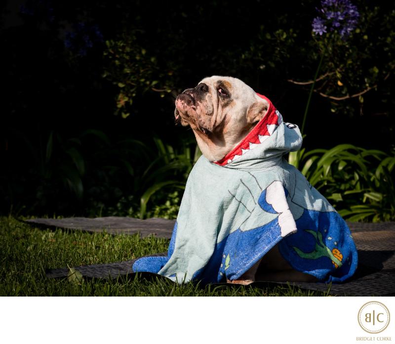 Family Photograph of Venus the Bulldog in Summer 2016 Johannesburg