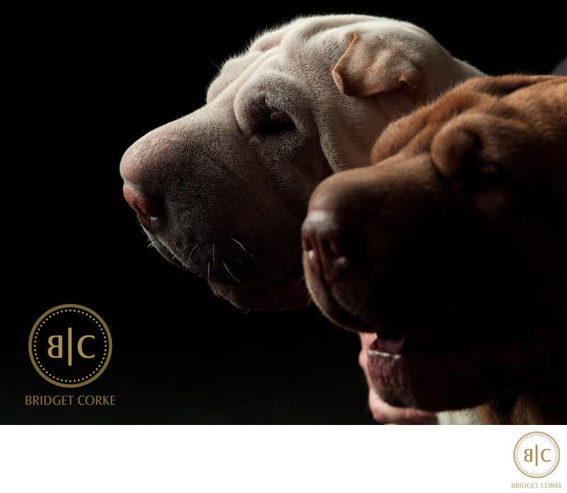 Studio Pet Photograph Johannesburg Sharpei