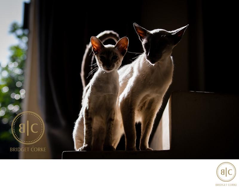 Siamese Cat Pet Photography Johannesburg