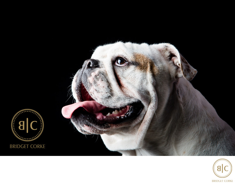 Best Johannesburg Bulldog Photographer
