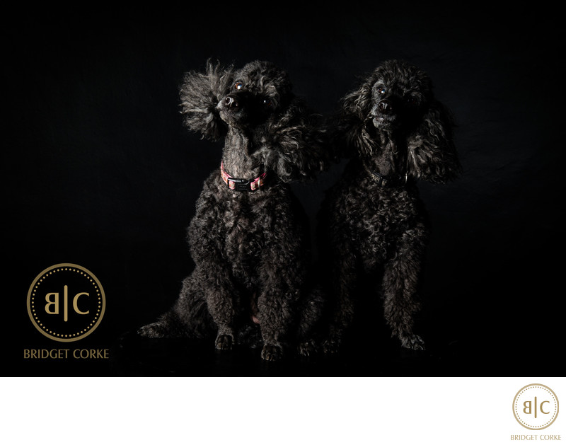 Johannesburg Studio Pet Photographer French Poodles