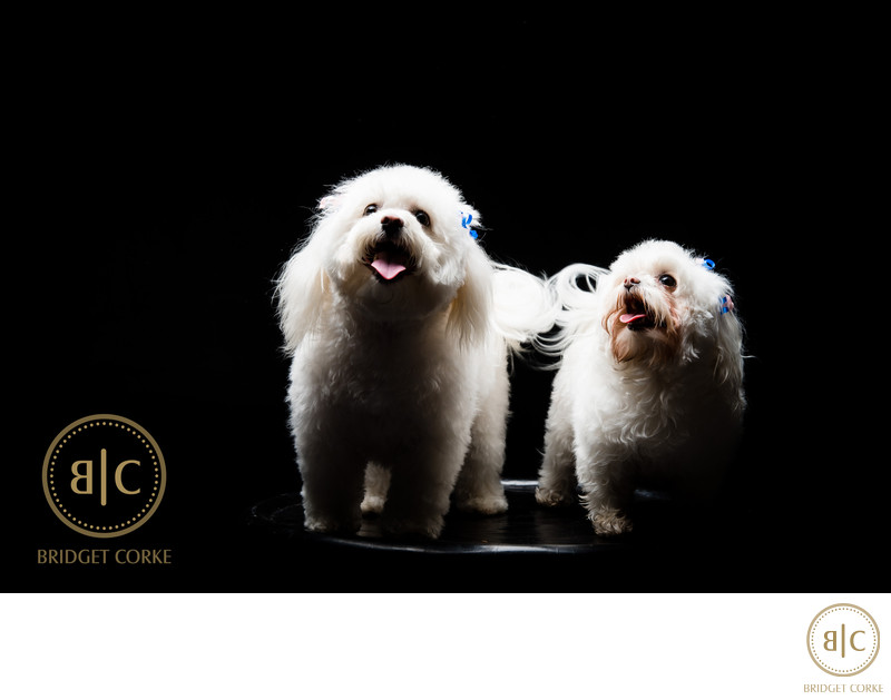 Top Johannesburg Maltese Poodle Pet Photographer