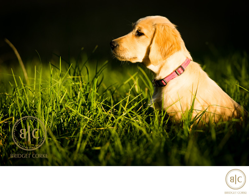 Puppy Labrador Dog Johannesburg Location Photography
