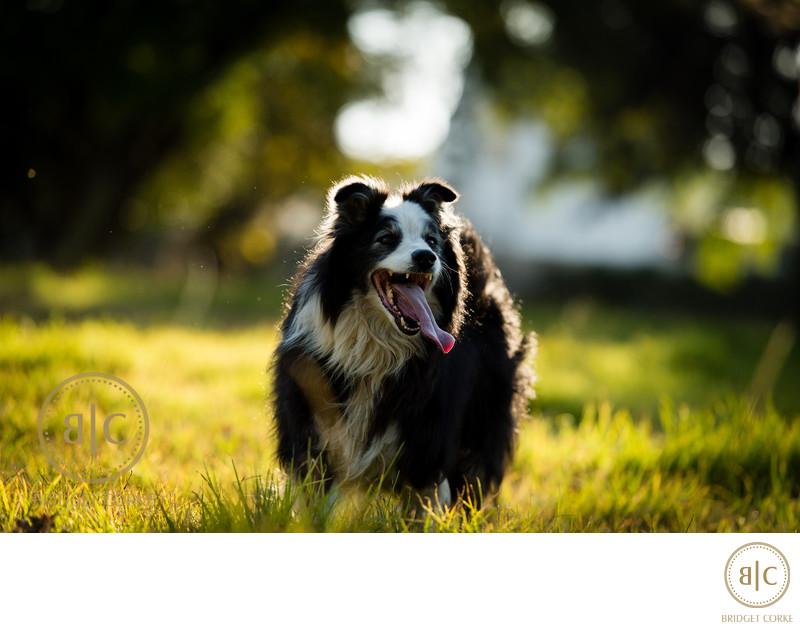Best Sheep Dog Photographer Johannesburg
