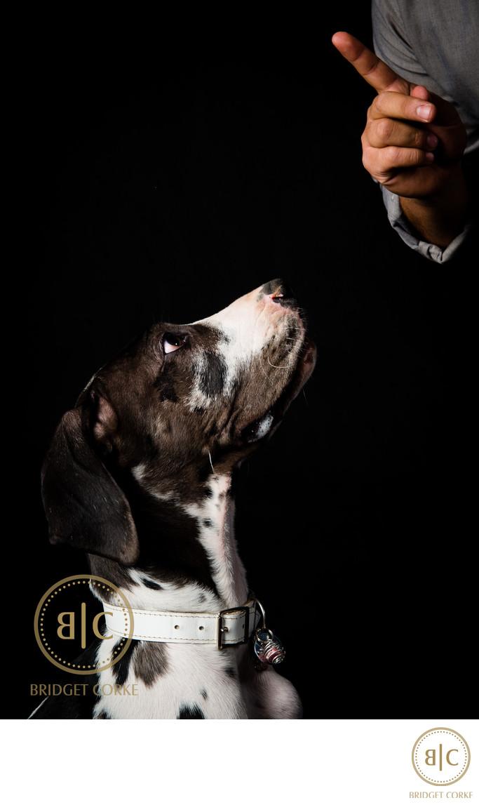 Great Dane Dog Studio Pet Photographer Johannesburg
