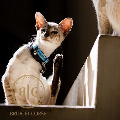 Siamese Cats Pet Photographer Johannesburg