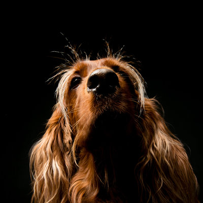 Top Irish Setter Dog Johannesburg Studio Photographer