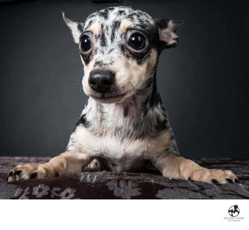 Merle Chihuahua