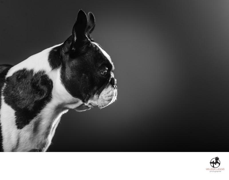 Boston Terrier Dog black and white